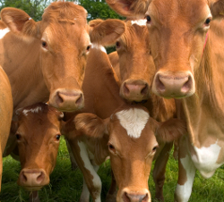teigne bovine traitement
